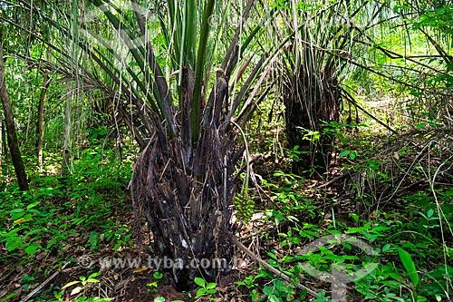 Bacurizeiro (Scheelea phalerata) em área de mata ripária  - Palmas - Tocantins (TO) - Brasil