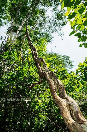 Cipó-escada (Bauhinia Splendens) em área de mata ripária  - Palmas - Tocantins (TO) - Brasil