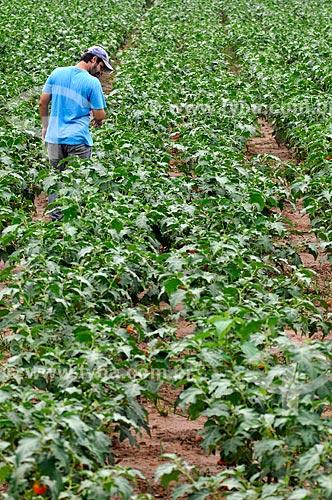 Produtor rural em meio à plantação de jiló  - Mirassol - São Paulo (SP) - Brasil