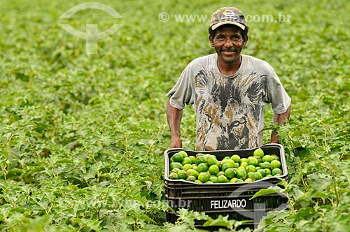 Trabalhador rural colhendo jiló  - Mirassol - São Paulo (SP) - Brasil