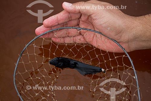 Ituí-cavalo (Apteronotus albifrons) no Rio Negro  - Barcelos - Amazonas (AM) - Brasil