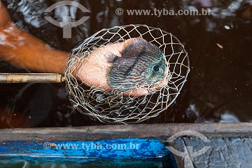 Detalhe de Acará-Disco Hekel (Symphysodon discus) no Rio Negro  - Barcelos - Amazonas (AM) - Brasil