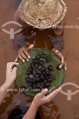 Detalhe de filhotes de Tartaruga-da-Amazônia (Podocnemis expansa) no Rio Negro  - Barcelos - Amazonas (AM) - Brasil