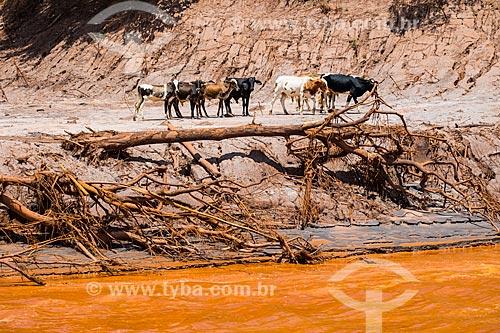 Rebanho vagando às margens do Rio Gualaxo do Norte no distrito de Paracatu de Baixo após o rompimento de barragem de rejeitos de mineração da empresa Samarco em Mariana (MG)  - Mariana - Minas Gerais (MG) - Brasil