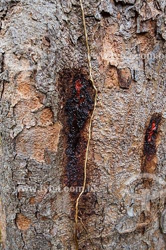 Detalhe de resina no tronco de Pau-Brasil (Caesalpinia echinata Lam.) no campus da Universidade Federal de São João del-Rei  - São João del Rei - Minas Gerais (MG) - Brasil