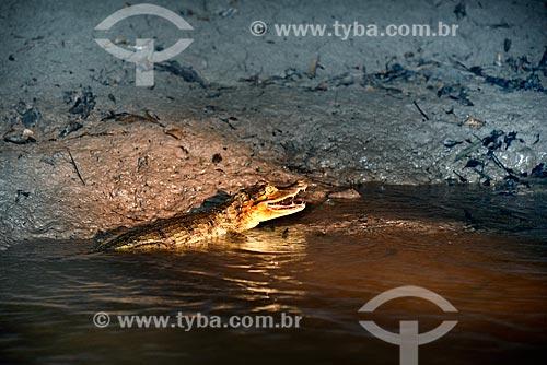 Jacaretinga (Caiman crocodilus) na margem de um rio - Parque Nacional de Anavilhanas  - Novo Airão - Amazonas (AM) - Brasil