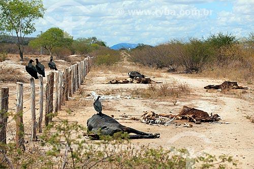 Urubu-de-cabeça-preta (Coragyps atratus) e gado morto pela seca próximo da BR-232  - Pernambuco (PE) - Brasil