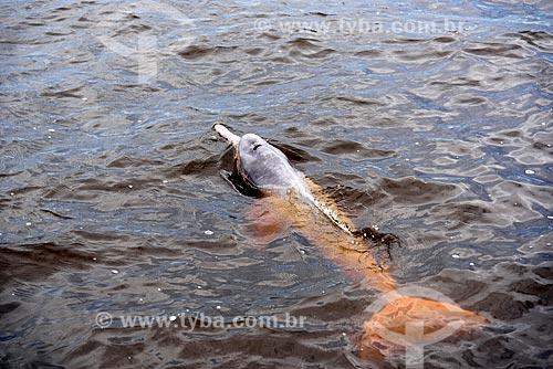Boto-cor-de-rosa (Inia geoffrensis) no Parque Nacional de Anavilhanas  - Novo Airão - Amazonas (AM) - Brasil