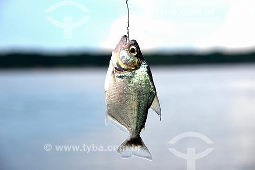 Detalhe de piranha pescada no Rio Negro durante pesca esportiva no Parque Nacional de Anavilhanas  - Novo Airão - Amazonas (AM) - Brasil