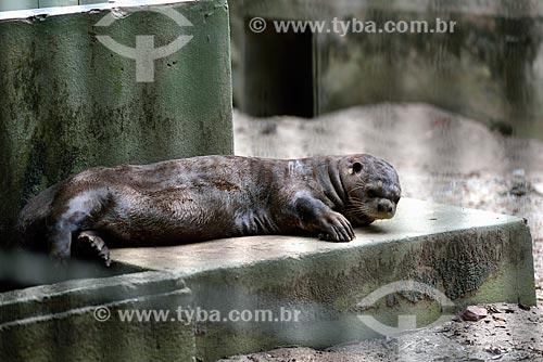 Ariranha (Pteronura brasiliensis) - também conhecido como onça-dágua, lontra-gigante ou lobo-do-rio - no Bosque da Ciência do Instituto Nacional de Pesquisas da Amazônia (INPA)  - Manaus - Amazonas (AM) - Brasil