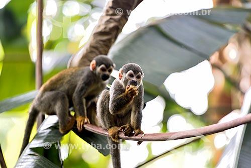 Macaco-de-cheiro (Saimiri sciureus) - no Bosque da Ciência do Instituto Nacional de Pesquisas da Amazônia (INPA)  - Manaus - Amazonas (AM) - Brasil