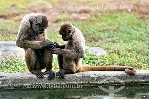 Macacos-barrigudos (Lagothrix lagotricha) no jardim zoológico do Centro de Instrução de Guerra na Selva  - Manaus - Amazonas (AM) - Brasil