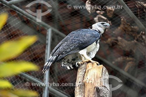 Harpia (Harpia harpyja) no jardim zoológico do Centro de Instrução de Guerra na Selva  - Manaus - Amazonas (AM) - Brasil
