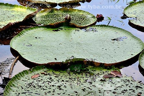 Vitórias-régias (Victoria amazonica) no Parque Ecológico do Lago Janauari  - Iranduba - Amazonas (AM) - Brasil