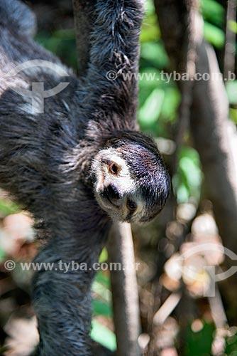 Bicho-Preguiça no Parque Ecológico do Lago Janauari  - Iranduba - Amazonas (AM) - Brasil