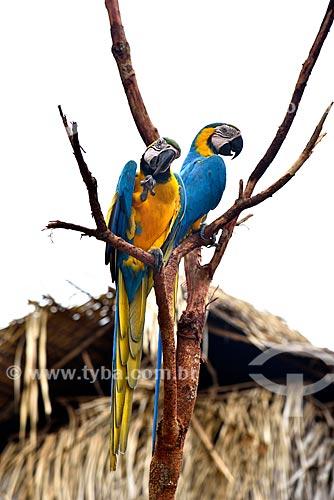 Casal de Arara-Canindé (Ara ararauna) - também conhecida como Arara-de-barriga-amarela -   - Manaus - Amazonas (AM) - Brasil