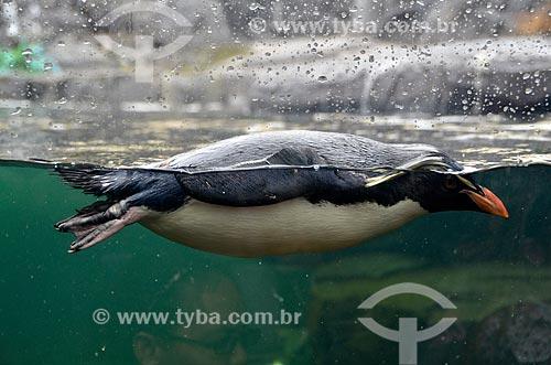 Pinguim-saltador-da-rocha (Eudyptes chrysocome) no Two Oceans Aquarium (Aquário Dois Oceanos)  - Cidade do Cabo - Província do Cabo Ocidental - África do Sul