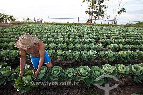 Colheita de repolho em plantação de várzea  - Iranduba - Amazonas (AM) - Brasil