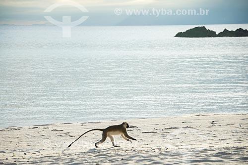 Macaco-Vervet (Chlorocebus pygerythrus) na orla da província de Niassa  - Província de Niassa - Moçambique