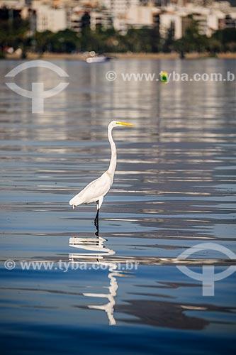 Garça-branca-grande (Ardea alba) na Lagoa Rodrigo de Freitas  - Rio de Janeiro - Rio de Janeiro (RJ) - Brasil