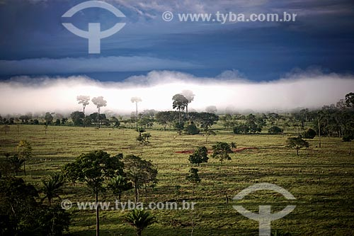 Castanheiras (castanea sativa) entre à neblina na Floresta Amazônica  - Acre (AC) - Brasil