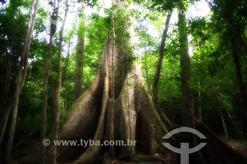 Detalhe de tronco de Sumaúma gigante (Ceiba pentandra) na Floresta Amazônica  - Acre (AC) - Brasil