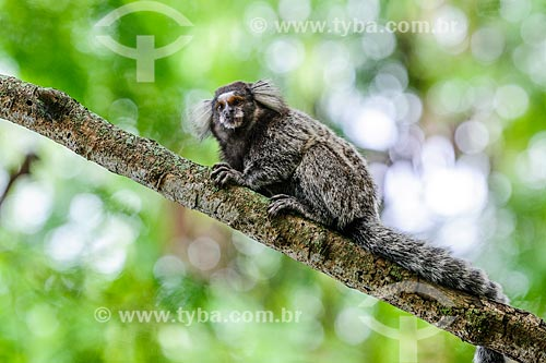Detalhe de mico-estrela (Callithrix penicillata) na Pista Cláudio Coutinho - também conhecida como Caminho do Bem-te-Vi ou Estrada do Costão  - Rio de Janeiro - Rio de Janeiro (RJ) - Brasil