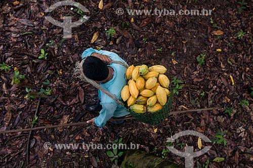 Produtor durante a colheita de cacau nativo na região do Rio Madeira  - Amazonas (AM) - Brasil