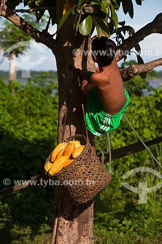 Menino em cacaueiro (Theobroma cacao) durante a colheita do cacau nativo na região do Rio Madeira  - Novo Aripuanã - Amazonas (AM) - Brasil
