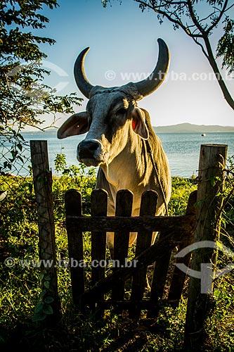 Boi Zebu na orla da Praia de Santo Antônio de Lisboa  - Florianópolis - Santa Catarina (SC) - Brasil