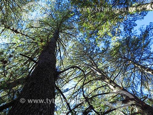 Bosque de Pinheiros  - Canela - Rio Grande do Sul (RS) - Brasil