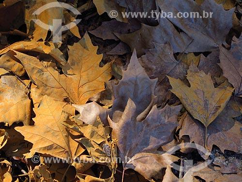 Detalhe de folhas secas na cidade de Canela  - Canela - Rio Grande do Sul (RS) - Brasil