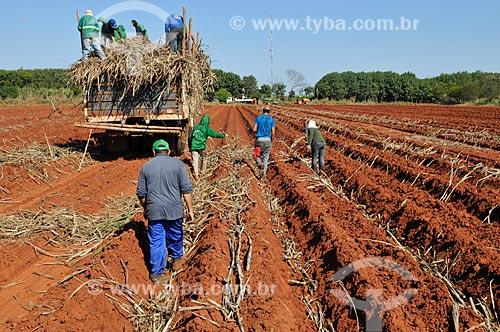 Plantio manual de cana-de-açúcar  - Planalto - São Paulo (SP) - Brasil
