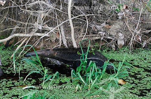Detalhe de tamanduá-bandeira (Myrmecophaga tridactyla) no Rio Negro  - Manaus - Amazonas (AM) - Brasil