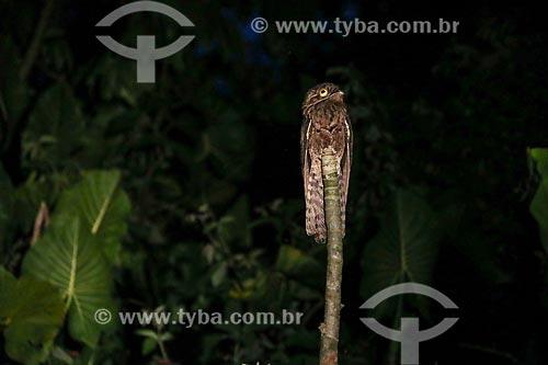 Detalhe de urutau-comum (Nyctibius griseus)  - Parintins - Amazonas (AM) - Brasil