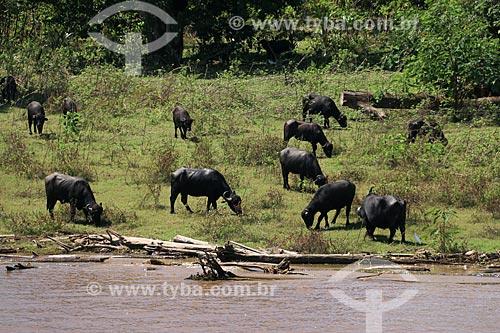 Criação de búfalos às margens do Rio Amazonas  - Urucará - Amazonas (AM) - Brasil