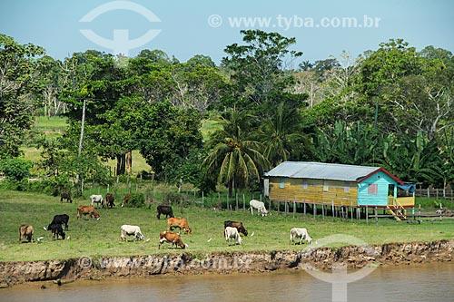 Criação de gado às margens do Rio Amazonas  - Careiro da Várzea - Amazonas (AM) - Brasil
