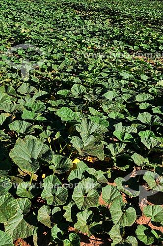 Plantação de Abóbora Moranga  - Novo Horizonte - São Paulo (SP) - Brasil