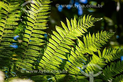 Detalhe de samambaiaçu (Dicksonia selowiana) na Área de Proteção Ambiental da Serrinha do Alambari  - Resende - Rio de Janeiro (RJ) - Brasil