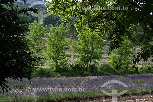 Campos de lavanda da Notre-Dame de Sénanque Abbey (Abadia de Notre-Dame de Sénanque)  - Gordes - Departamento de Vaucluse - França