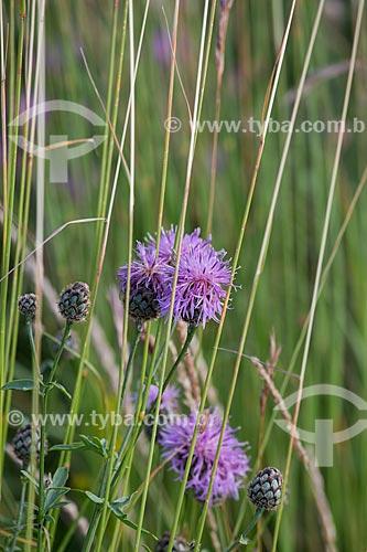 Detalhe de flor no Parc Naturel Régional du Luberon (Parque Natural Regional do Luberon)  - Apt - Departamento de Vaucluse - França