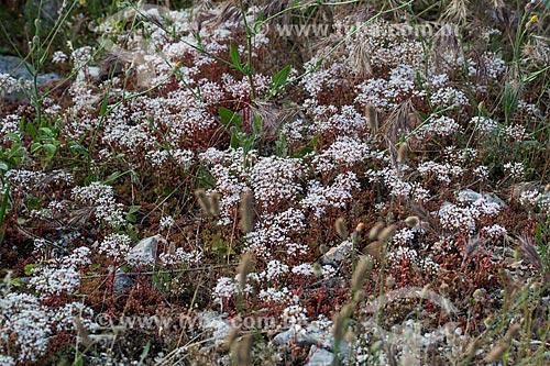 Flores no Parc Naturel Régional du Luberon (Parque Natural Regional do Luberon)  - Apt - Departamento de Vaucluse - França