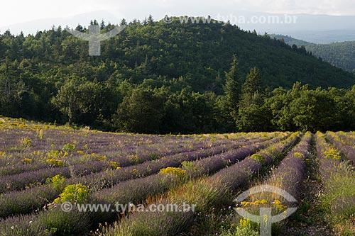 Campos de lavanda no Parc Naturel Régional du Luberon (Parque Natural Regional do Luberon)  - Apt - Departamento de Vaucluse - França