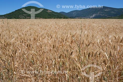 Plantação de trigo próximo a cidade de Saumane  - Apt - Departamento de Vaucluse - França