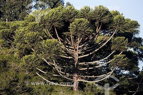 Araucária (Araucaria angustifolia) na Colônia Italiana do Mergulhão  - São José dos Pinhais - Paraná (PR) - Brasil