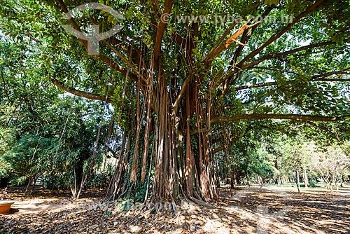 Figueira no Parque do Ibirapuera  - São Paulo - São Paulo (SP) - Brasil