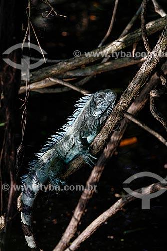 Iguana (Iguana iguana)  - Manaus - Amazonas (AM) - Brasil