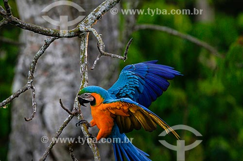 Arara-de-barriga-amarela (Ara ararauna) também conhecida como Arara Canindé na Floresta Amazônica  - Manaus - Amazonas (AM) - Brasil