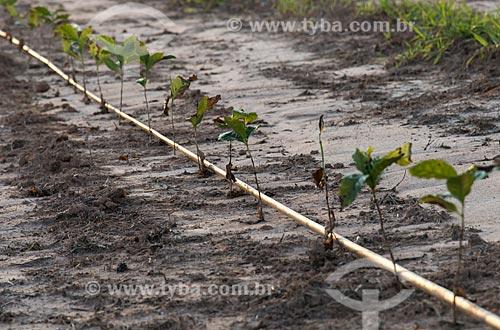Irrigação por gotejamento em plantação de café  - Garça - São Paulo (SP) - Brasil