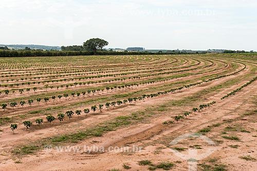 Plantação de café novo  - Garça - São Paulo (SP) - Brasil